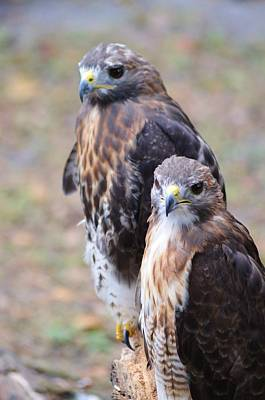 Photograph - Red-tailed Hawks by Warren Thompson