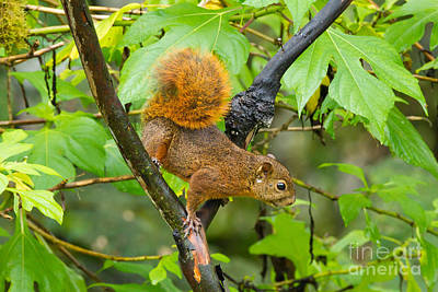 Red-tailed Squirrel Photograph - Red-tailed Squirrel by B.G. Thomson