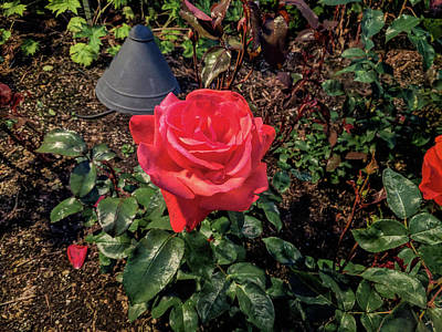 Photograph - Red Tea Rose Landscape At Night by Michael Bessler