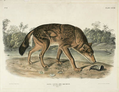 Drawing - Red Texas Wolf. Canis Lupus by John Woodhouse Audubon