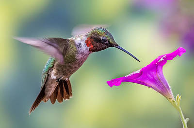 Photograph - Red Throated Hummingbird by Allin Sorenson