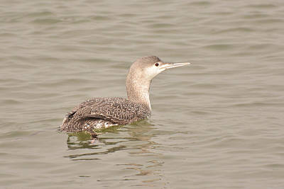 Photograph - Red-throated Loon by Alan Lenk