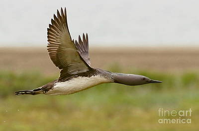 Photograph - Red-throated Loon In Flight by Myrna Bradshaw