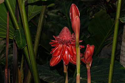 Photograph - Red Torch Ginger Lily - Glossy Exotic And Wonderful by Georgia Mizuleva