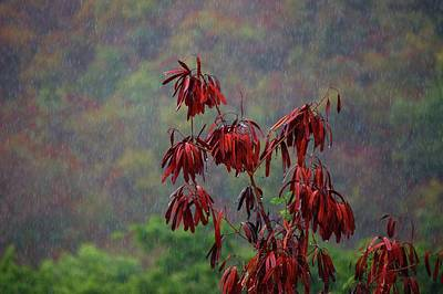Red Tree In The Rain Art Print