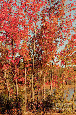 Photograph - Red Trees by Iris Greenwell