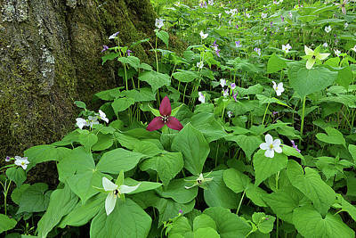 Photograph - Red Trillium At Center by Alan Lenk