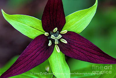 Photograph - Red Trillium by Barbara Bowen