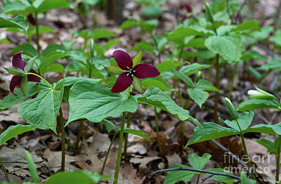 Photograph - Red Trillium Flowers by Les Palenik