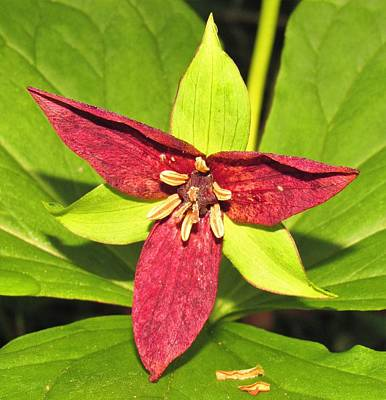 Photograph - Red Trillium by Joshua Bales