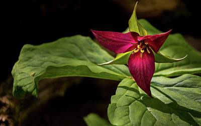 Photograph - Red Trillium by Will Bailey