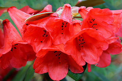 Photograph - Red Trumpet Rhodies by Ginny Barklow