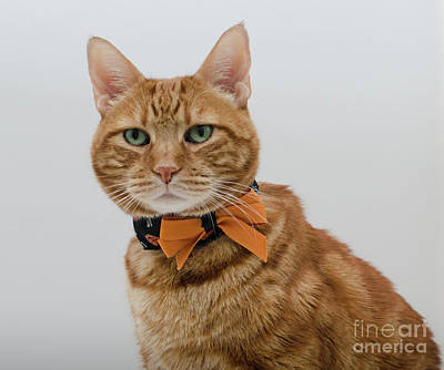 Photograph - Red Tubby Cat Tabasco Halloween by Irina ArchAngelSkaya