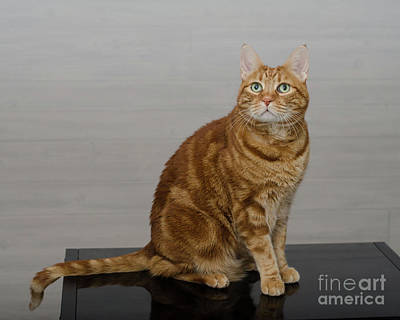 Photograph - Red Tubby Cat Tabasco On Black Table by Irina ArchAngelSkaya