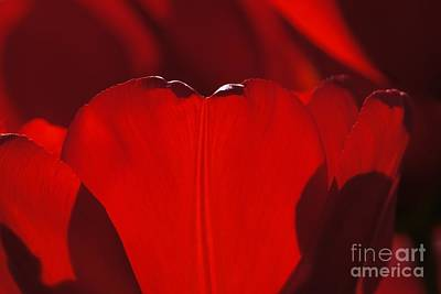 Photograph - Red Tulip Abstract by Patricia Strand