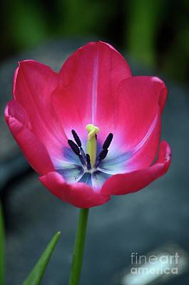 Photograph - Red Tulip Blossom With Stamen And Petals And Pistil by Imran Ahmed