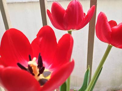 Tulips Photograph - Red Tulip by Cesar Vieira