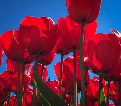 Skagit Digital Art - Red Tulip Glory by Mia DeBolt