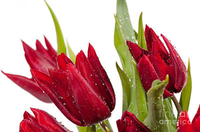 Womens Photograph - Red Tulip Heads Sprinkled by Arletta Cwalina
