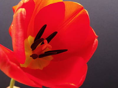 Red Tulip IIi Art Print by Anna Villarreal Garbis