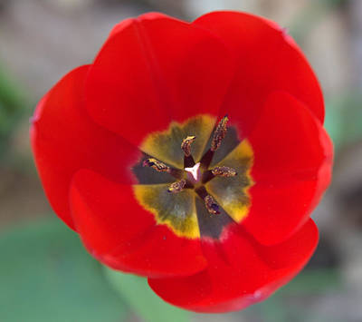 Photograph - Red Tulip In 3d by Liz Allyn