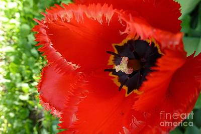 Art Print featuring the photograph Red Tulip by Jean Bernard Roussilhe