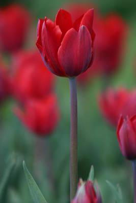 Red Tulip Art Print by Martina Fagan