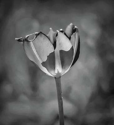 Photograph - Red Tulip May 2016 #1 Bw by Leif Sohlman