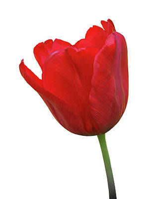 Photograph - Red Tulip Open On White by Gill Billington