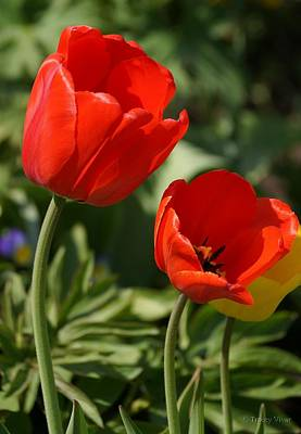 Photograph - Red Tulip Pair by Tracey Vivar