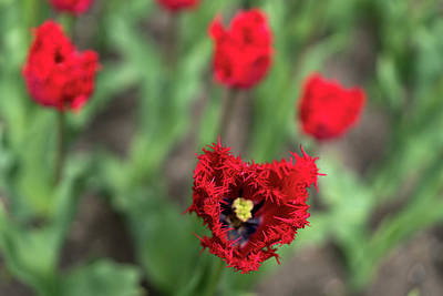 Photograph - Red Tulip by Radoslav Nedelchev