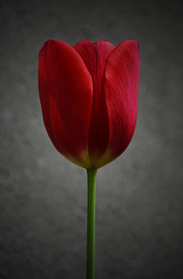 Red Tulip Art Print