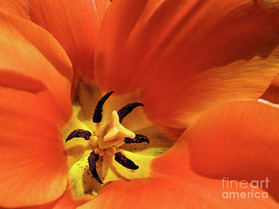 Art Print featuring the photograph Red Tulip by Susan Cole Kelly