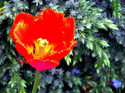 Photograph - Red Tulip by Susie Weaver