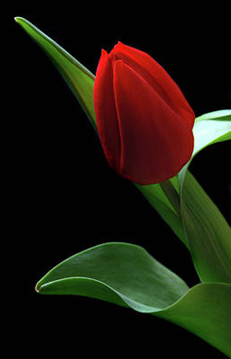 Red Tulip. Art Print