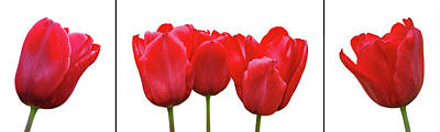 Photograph - Red Tulip Triptych On White by Gill Billington