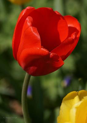 Photograph - Red Tulip With Yellow Friend by Tracey Vivar