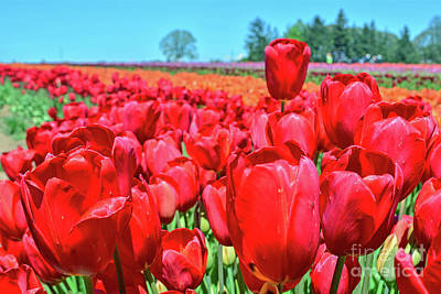 Photograph - Red Tulips And Field by Third Eye Perspectives Photographic Fine Art