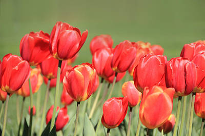 Photograph - Red Tulips by Angela Murdock