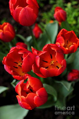 Photograph - Red Tulips by Angela Rath