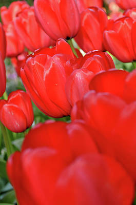 Photograph - Red Tulips by Brandon Bourdages