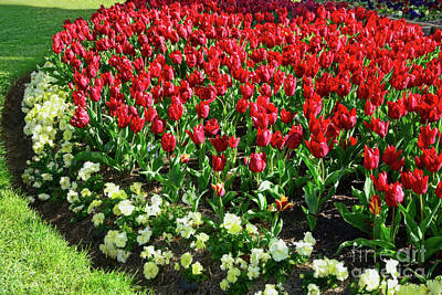 Photograph - Red Tulips By Kaye Menner by Kaye Menner
