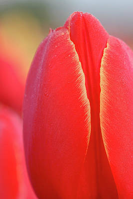 Photograph - Red Tulips by Craig Strand