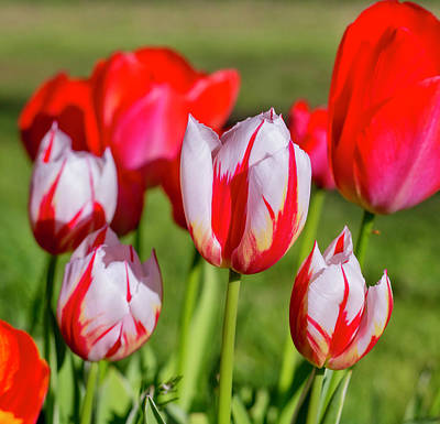 Photograph - Red Tulips by Dennis Bucklin