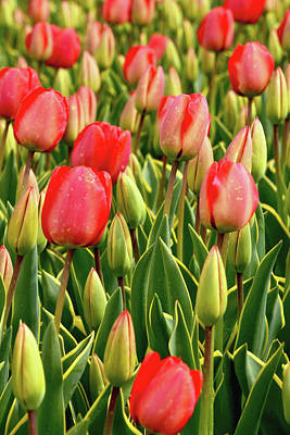 Photograph - Red Tulips Flowers And Buds by Mihaela Pater