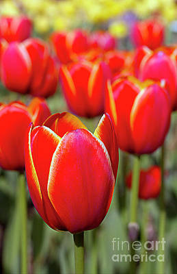 Red And Yellow Tulips I Art Print
