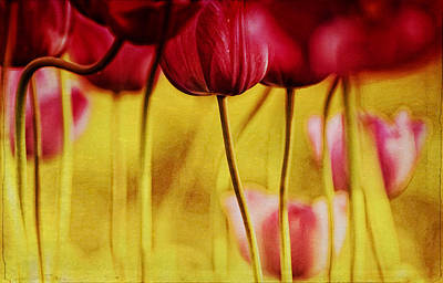 Red Tulips Art Print by Iris Greenwell