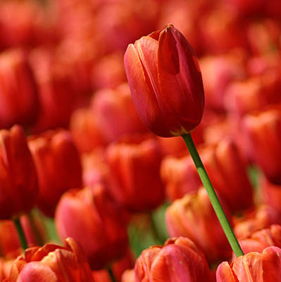 Photograph - Red Tulips by Judy Salcedo