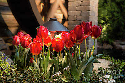 Photograph - Red Tulips by Kevin McCarthy