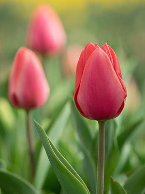 Photograph - Red Tulips by Kyle Wasielewski